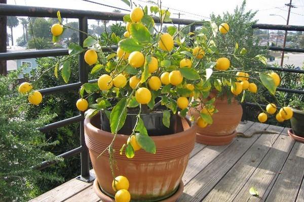 como-fazer-um-jardim-limoeiro